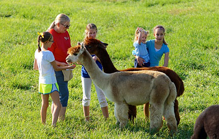 Alpacas of the Heartland