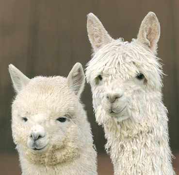 learn about alpacas