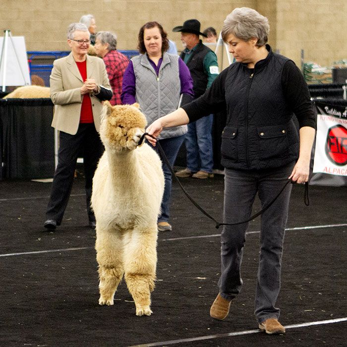 huacaya in show ring