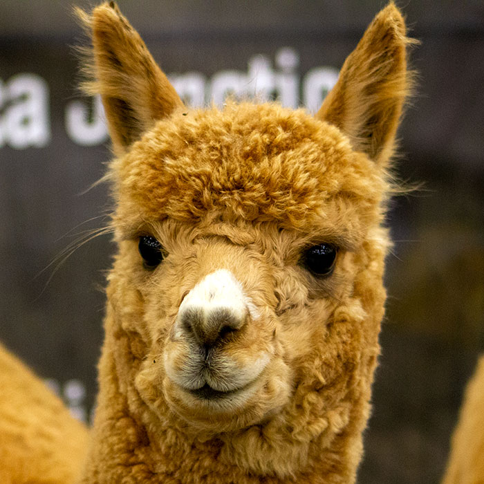 huacaya alpaca at a show